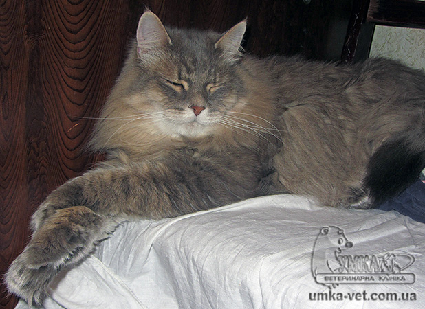 Мейн куны – удивительные кошки