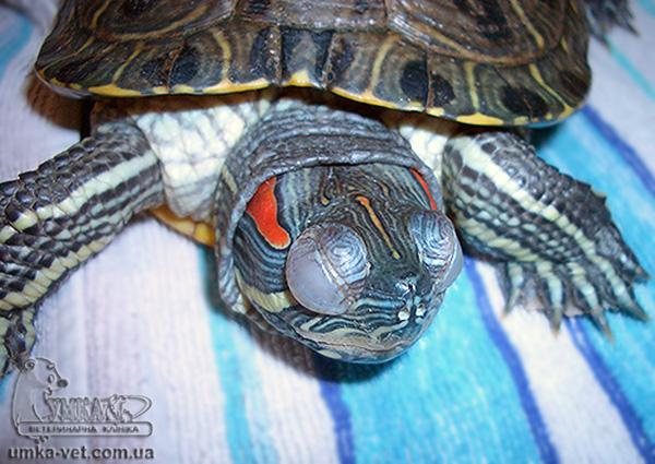 Почему красноухая черепаха не двигается